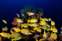 Coral reef fish. School of coral reef fish on the tropical waters of Barren Island, Andamans, India stock photos