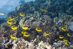 Coral reef and fish. Colorful fish swimming among coral reef Royalty Free Stock Photo