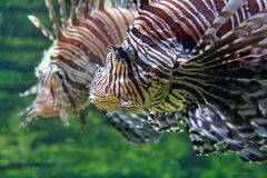 Coral reef fish. Close-up of a stripped coral reef fish Royalty Free Stock Image