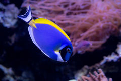 Coral reef fish close up. Coral reef fishes in the water Royalty Free Stock Photography