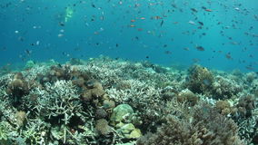 Coral Reef and Fish. A healthy, biodiverse coral reef grows in Indonesia. This part of the tropical Pacific is home to an extraordinary array of marine organisms stock video