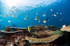 Coral reef and fish scuba dive in maldives royalty free stock photography