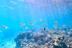 Coral reef and fish. At Seychelles Royalty Free Stock Photography