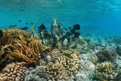 Coral reef fish titan triggerfish Pacific ocean Stock Photography