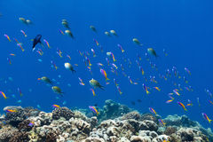 Coral reef fish underwater. Beautiful coral reef fish underwater at Maldives Stock Images