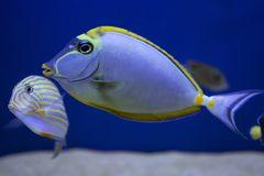 Coral reef fish were filmed in the aquarium. Close-up. Blue aquarium background. The fish have striped yellow patterns stock image