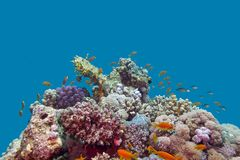 Coral reef and fishes anthias at the bottom of tropical sea on blue water background Stock Images