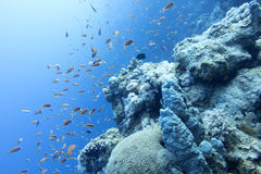 Coral reef with fishes anthias in tropical sea at great depths Royalty Free Stock Photos