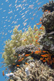 Coral reef with fishes Anthias in tropical sea, underwater. Colorful coral reef with exotic fishes Anthias at the bottom of tropical sea, underwater stock photography