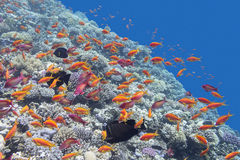 Coral reef with fishes Anthias in tropical sea, underwater Royalty Free Stock Image