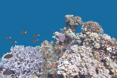 Coral reef with  fishes anthias in tropical sea, underwater Stock Images