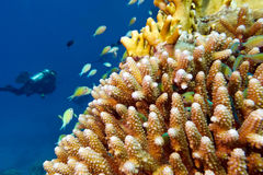Coral reef with fishes chromis caerulea and diver , underwater Royalty Free Stock Image