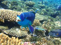 Colorful underwater world of the Red sea. stock image