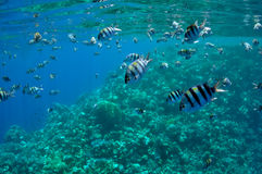 Coral reef and fishes at the Red Sea Royalty Free Stock Images