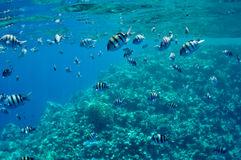 Coral reef and fishes at the Red Sea Royalty Free Stock Photos