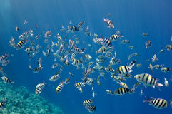 Coral reef and fishes at the Red Sea Royalty Free Stock Photo