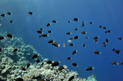Coral reef and fishes at the Red Sea Stock Photo