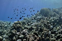 Coral reef and fishes at the Red Sea Royalty Free Stock Photography