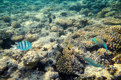 Coral reef with fishes of the red sea Royalty Free Stock Photos