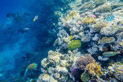 Coral reef with fishes of the red sea Stock Image