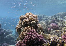 Coral reef and fishes Stock Image
