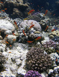Coral reef and fishes. Coral reef, Red Sea Egypt, small red fishes Stock Photo