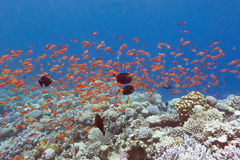 Coral reef with fishes scalefin anthias in tropical sea, underw Royalty Free Stock Image