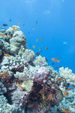 Coral reef with  fishes scalefin anthias, underwater Royalty Free Stock Photos