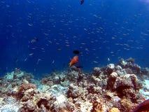 Coral Reef Fishes tropicale Fotografia Stock Libera da Diritti