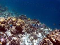 Coral Reef Fishes tropicale Fotografie Stock Libere da Diritti