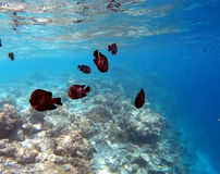 Coral Reef Fishes tropicale Image stock