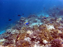 Coral Reef Fishes tropicale Photos libres de droits