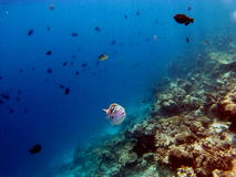 Coral Reef Fishes tropicale Images libres de droits