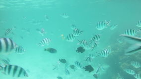 Coral reef fishes. Underwater view of fishes on the coral reefs in the clear coastal waters of Zanzibar island stock video