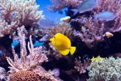Coral reef fishes Stock Image