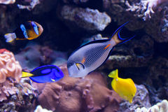 Coral reef fishes Royalty Free Stock Images