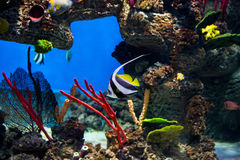 Coral reef fishes in the water royalty free stock photo