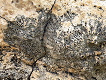 Coral reef fossil Royalty Free Stock Image