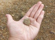 Coral Reef Fossils na palma fotografia de stock royalty free
