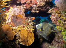 Coral reef - French Angelfish (Pomacanthus paru). Underwater off the coast of Roatan Honduras - French Angelfish (Pomacanthus paru royalty free stock photography