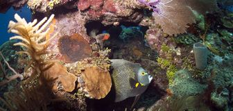 Coral reef - French Angelfish (Pomacanthus paru) Stock Photo