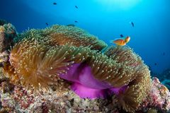 Coral reef garden in Palau, Micronesia Stock Image