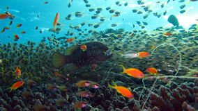 Coral reef with glass fish and anthias Royalty Free Stock Photography