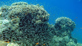 Coral reef with glass fish at the Red Sea Stock Photo