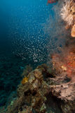 Coral reef and glassfish in the Red Sea. Stock Photos