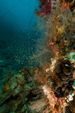 Coral reef and glassfish in the Red Sea. Royalty Free Stock Photos