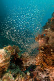 Coral reef and glassfish in the Red Sea. Royalty Free Stock Photography