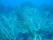 Coral reef with gorgonian in tropical sea on blue water backgrou Royalty Free Stock Photography
