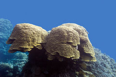 Coral reef with grat porites coral at the bottom of tropical sea Royalty Free Stock Images