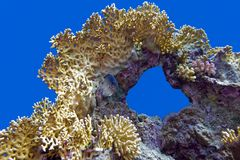 Coral reef with great fire coral at the bottom of tropical sea on blue water background Stock Images